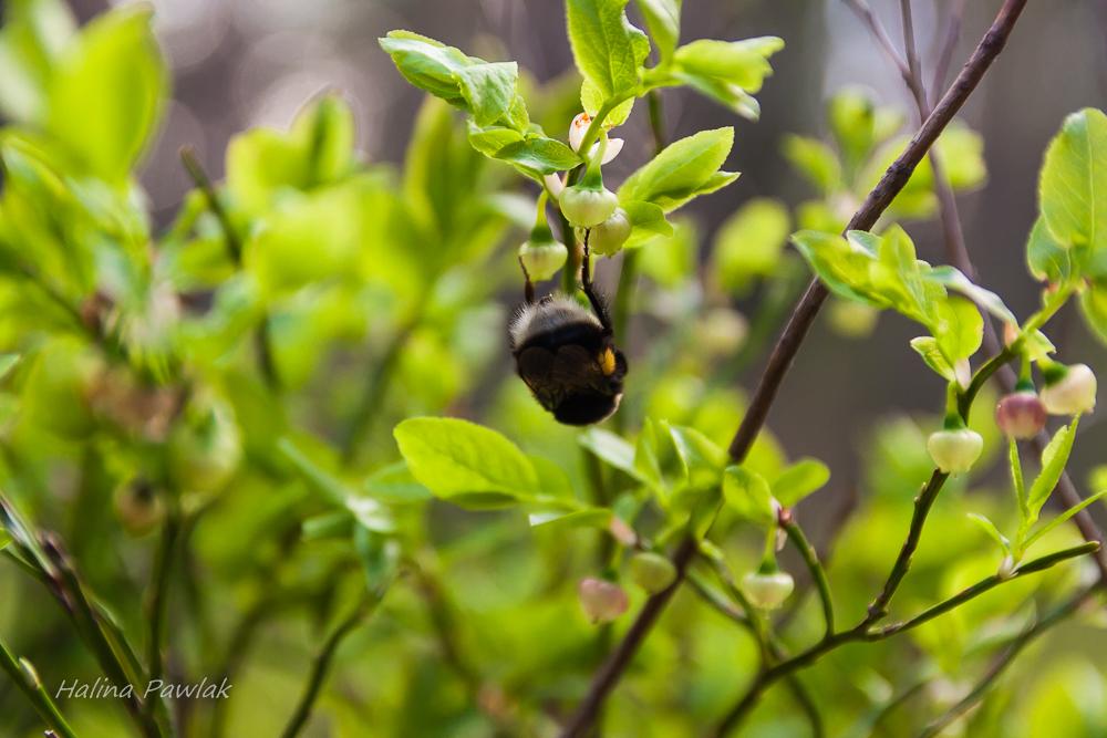 trzmiel, borówka czernica