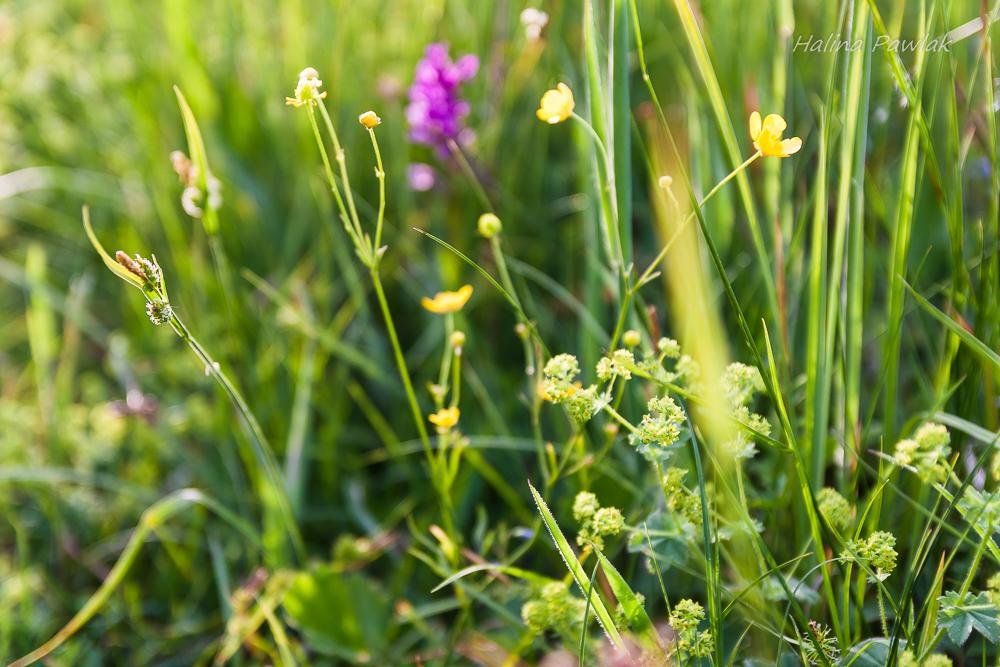 rośliny łąk