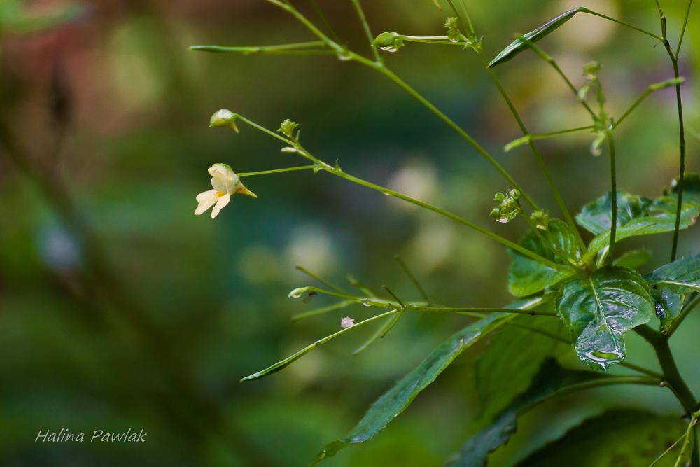 Niecierpek drobnokwiatowy